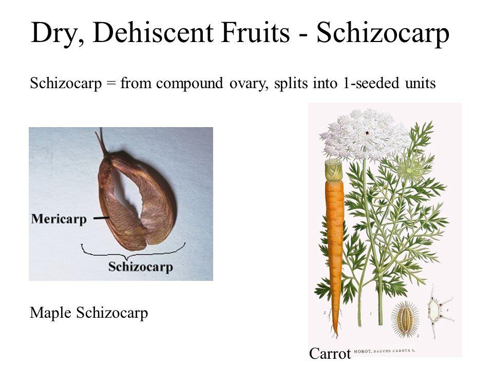 Dry, Dehiscent Fruits - Schizocarp