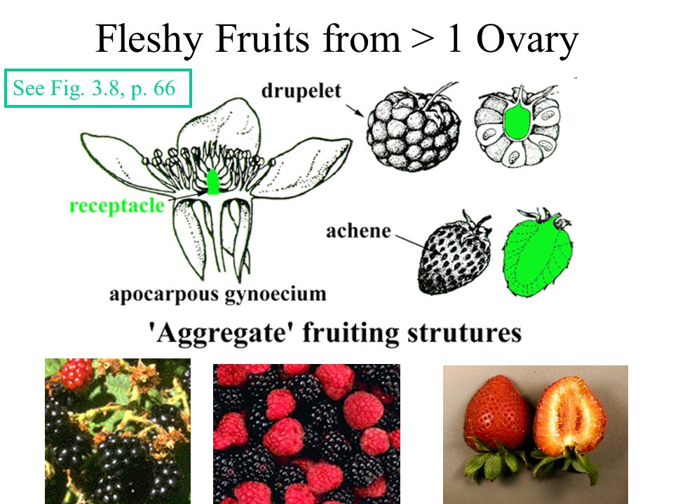 Fleshy Fruits from > 1 Ovary