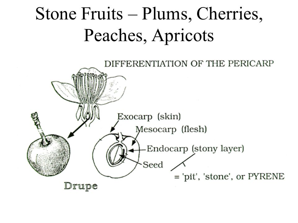 Stone Fruits – Plums, Cherries, Peaches, Apricots
