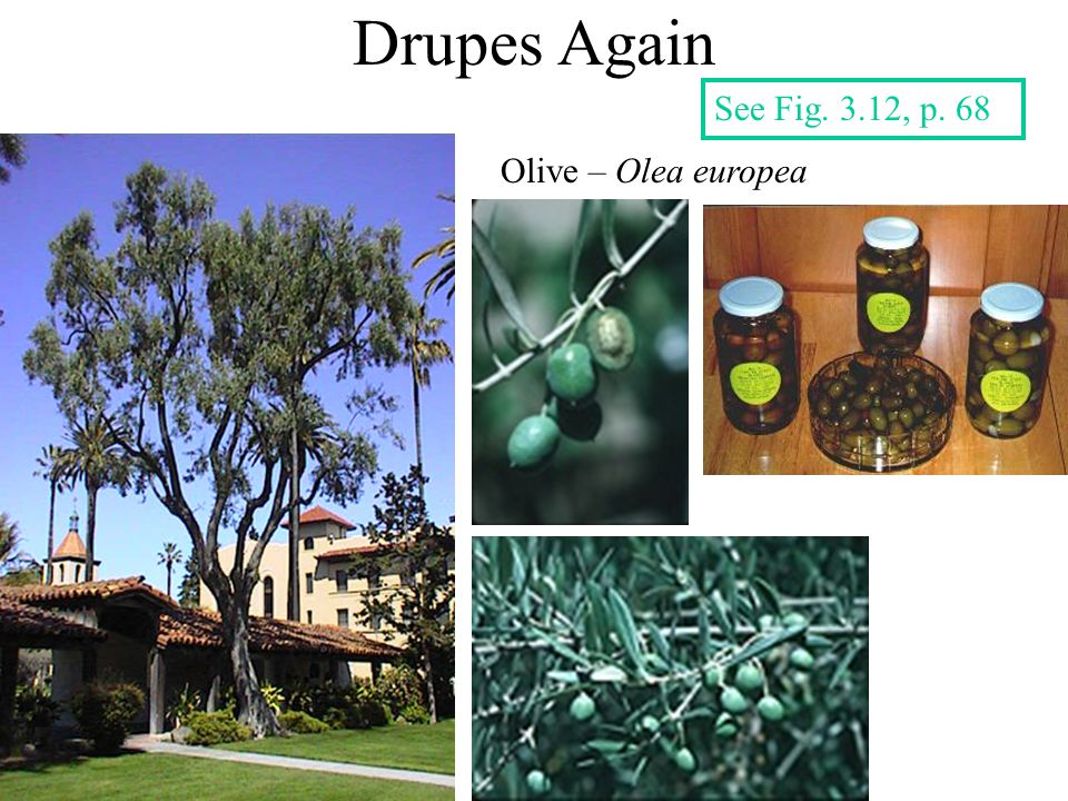 Drupes Again See Fig. 3.12, p. 68 Olive – Olea europea