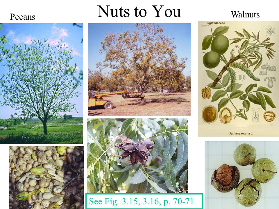 Nuts to You Walnuts Pecans See Fig. 3.15, 3.16, p. 70-71
