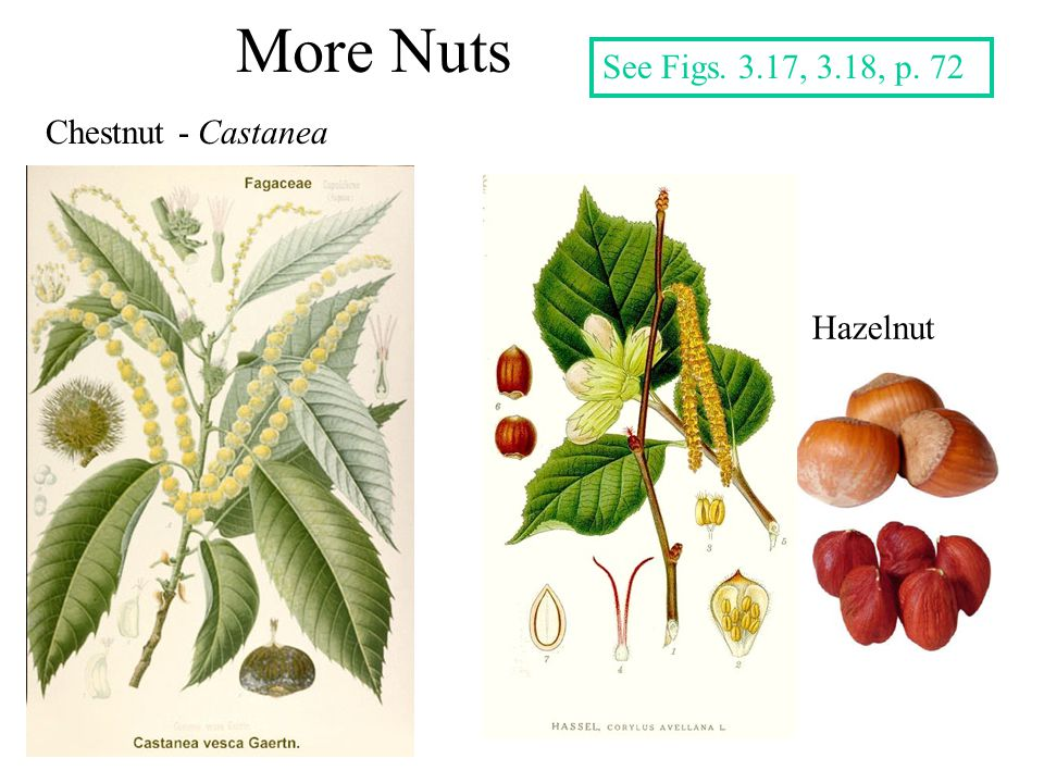 More Nuts See Figs. 3.17, 3.18, p. 72 Chestnut - Castanea Hazelnut