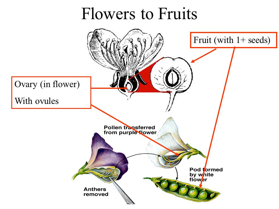 Flowers to Fruits Fruit (with 1+ seeds) Ovary (in flower) With ovules