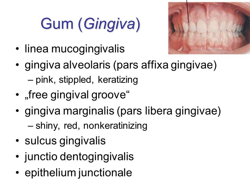 Gum (Gingiva) linea mucogingivalis