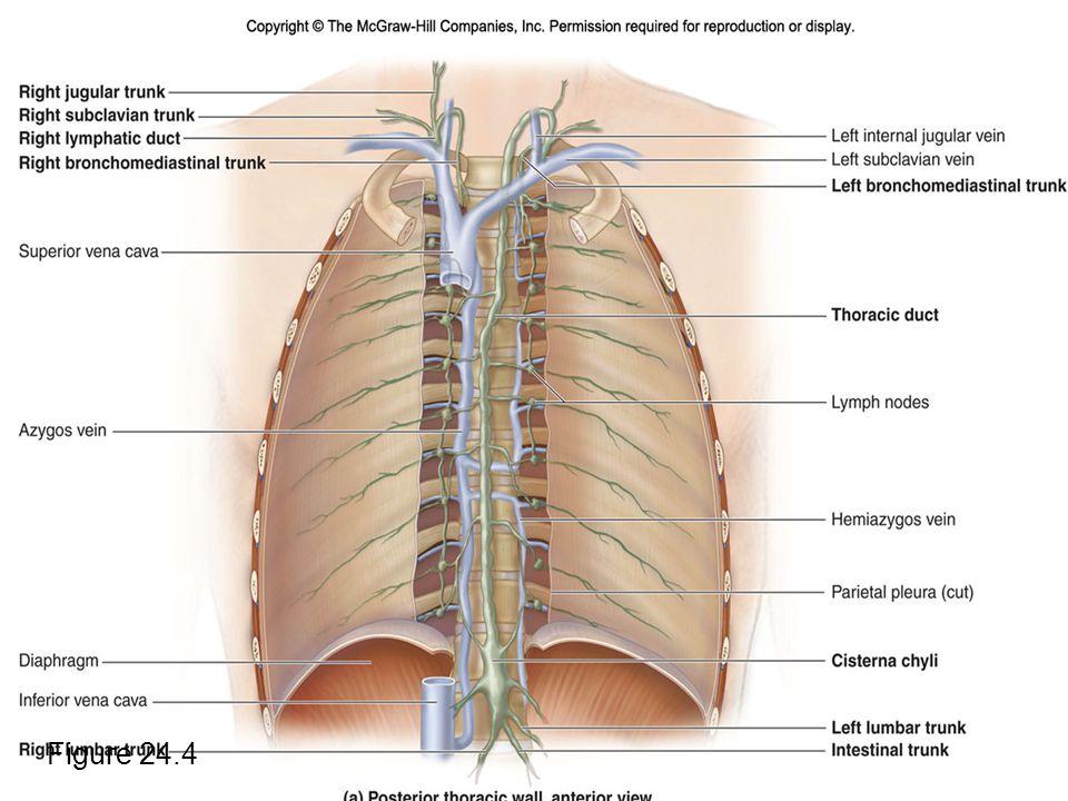 Lymphatic Trunks Figure 24.4