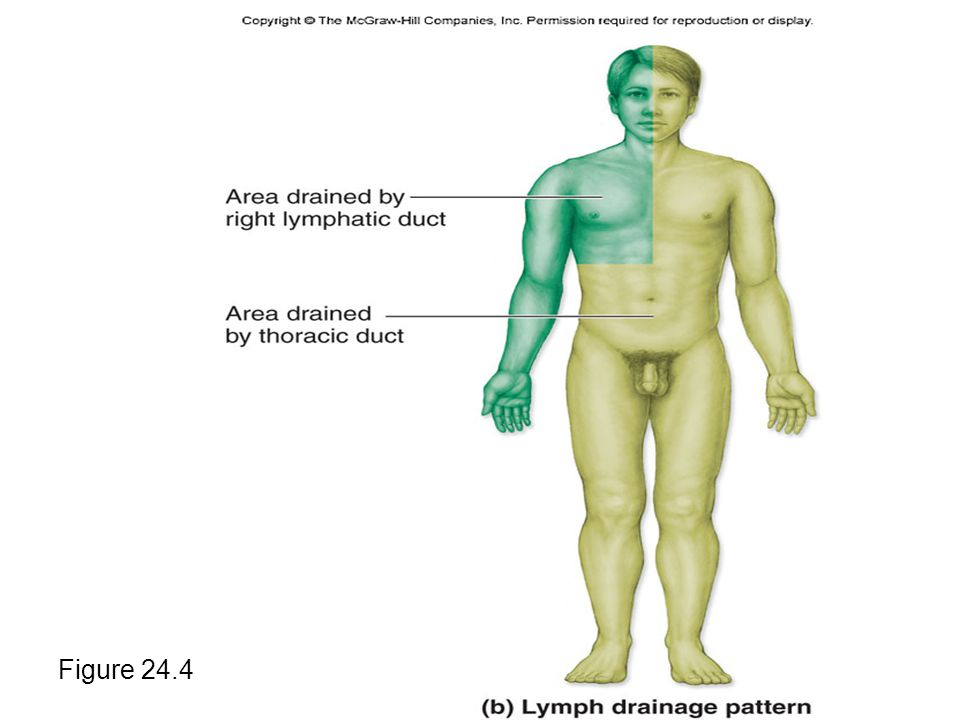 Lymphatic Ducts Figure 24.4