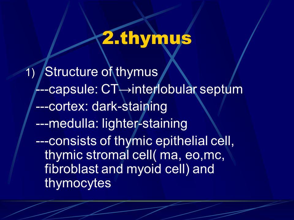 2.thymus Structure of thymus ---capsule: CT→interlobular septum