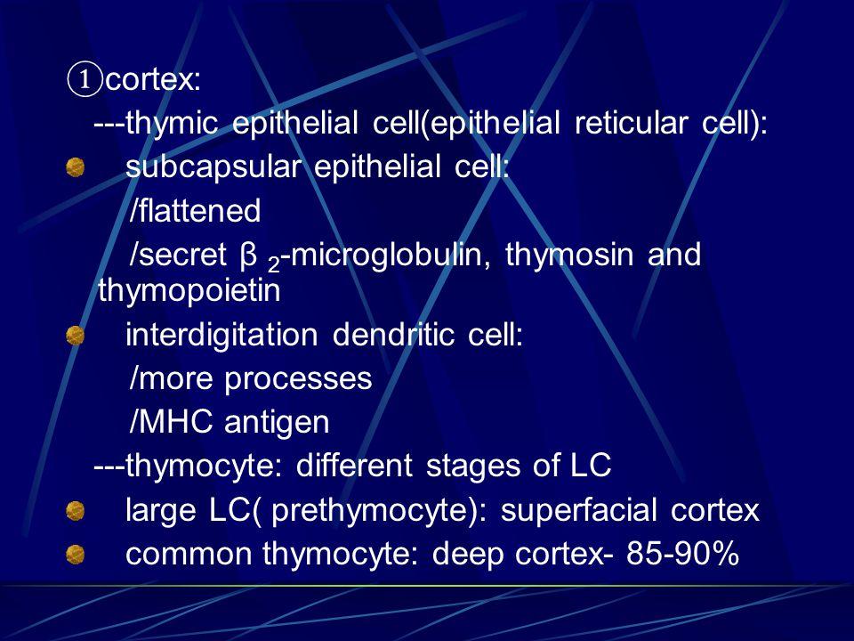 ①cortex: ---thymic epithelial cell(epithelial reticular cell): subcapsular epithelial cell: /flattened.
