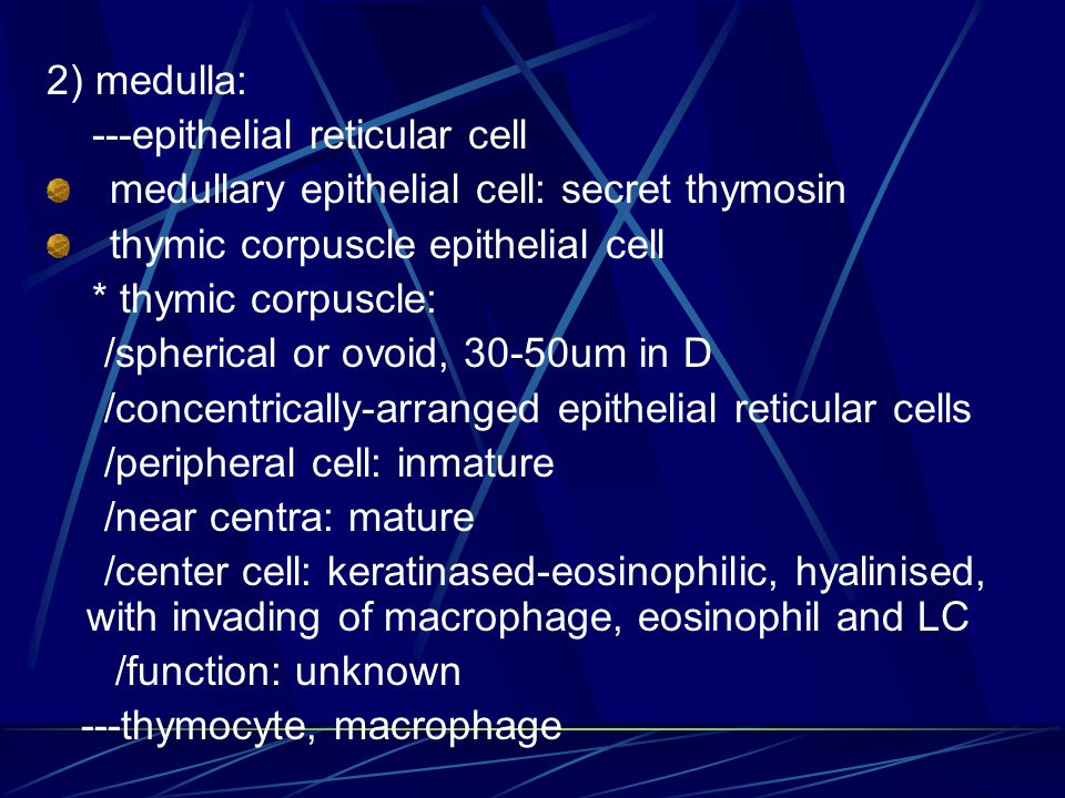 2) medulla: ---epithelial reticular cell. medullary epithelial cell: secret thymosin. thymic corpuscle epithelial cell.