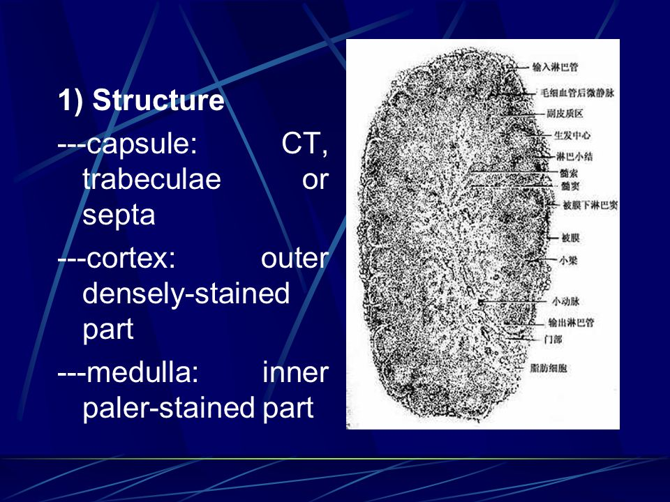 1) Structure ---capsule: CT, trabeculae or septa. ---cortex: outer densely-stained part.