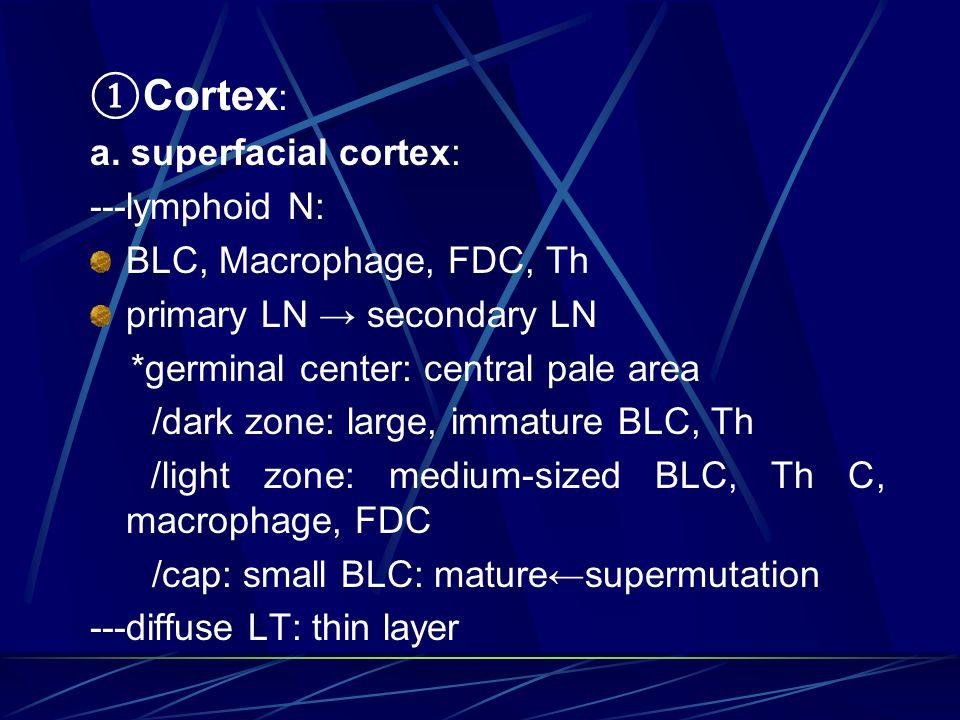 ①Cortex: a. superfacial cortex: ---lymphoid N: