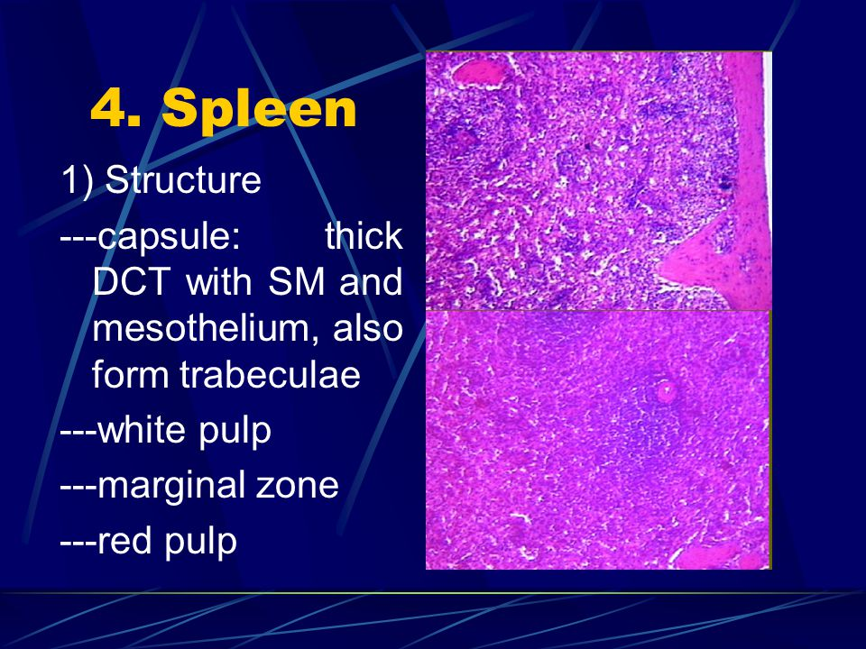 4. Spleen 1) Structure. ---capsule: thick DCT with SM and mesothelium, also form trabeculae. ---white pulp.