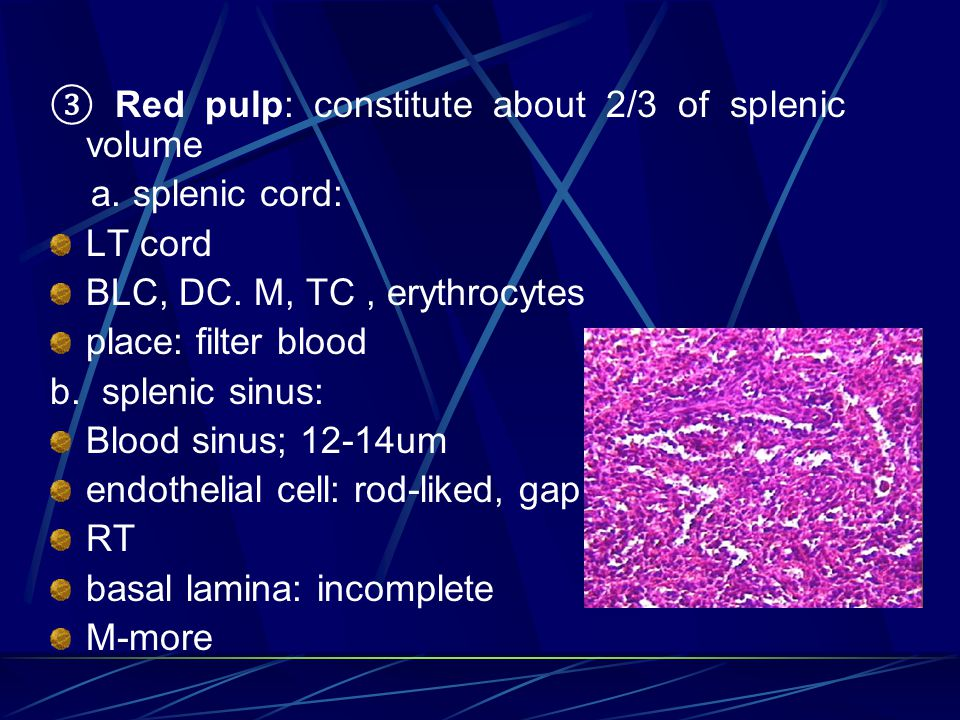 ③ Red pulp: constitute about 2/3 of splenic volume