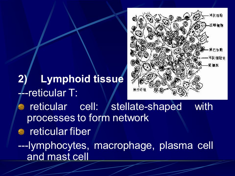 2) Lymphoid tissue ---reticular T: reticular cell: stellate-shaped with processes to form network.