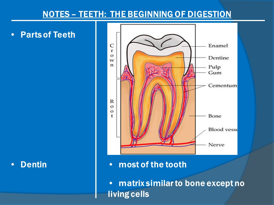 NOTES – TEETH: THE BEGINNING OF DIGESTION