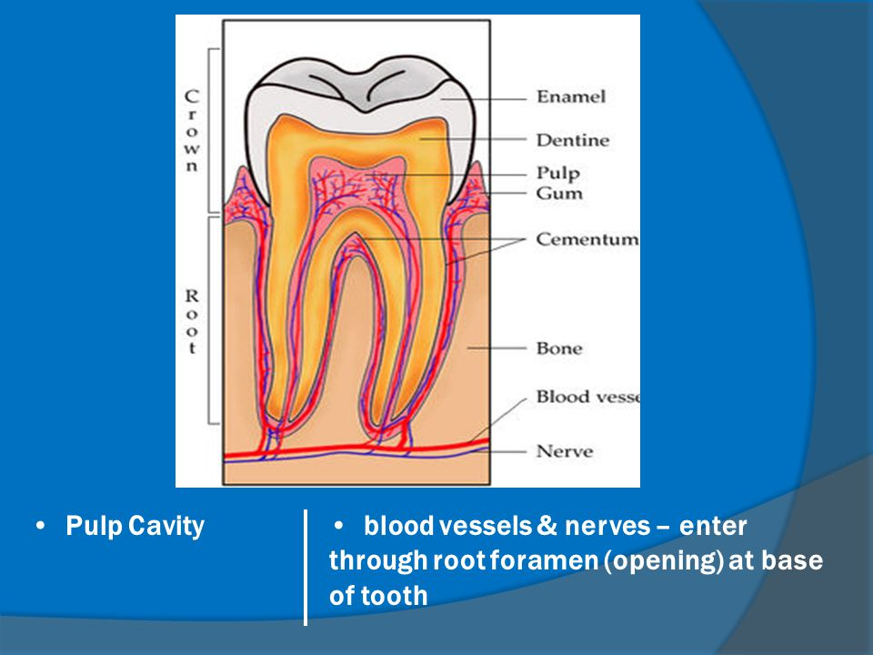 Pulp Cavity blood vessels & nerves – enter through root foramen (opening) at base of tooth