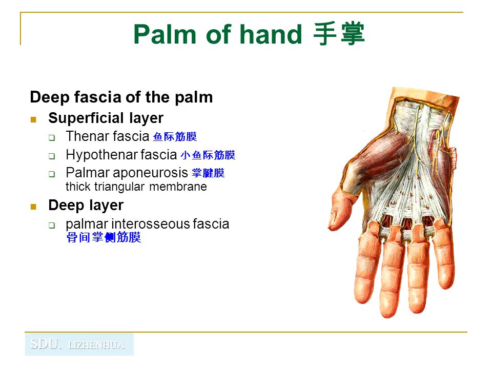 Palm of hand 手掌 Deep fascia of the palm Superficial layer Deep layer