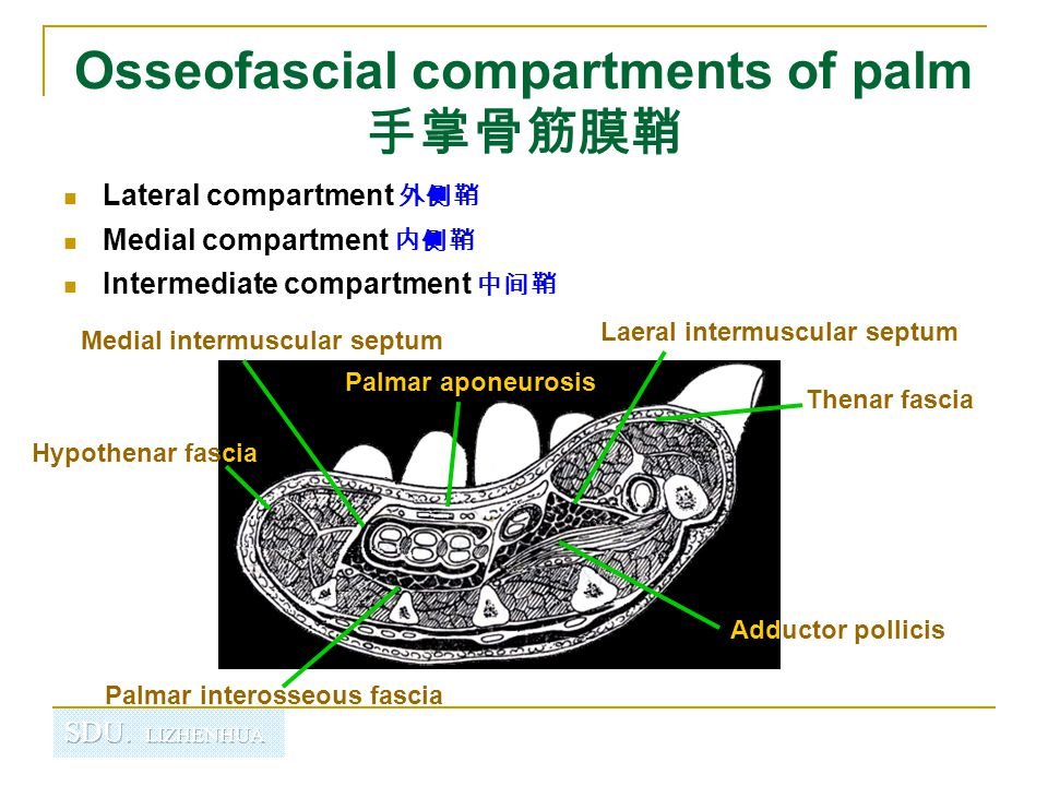 Osseofascial compartments of palm 手掌骨筋膜鞘