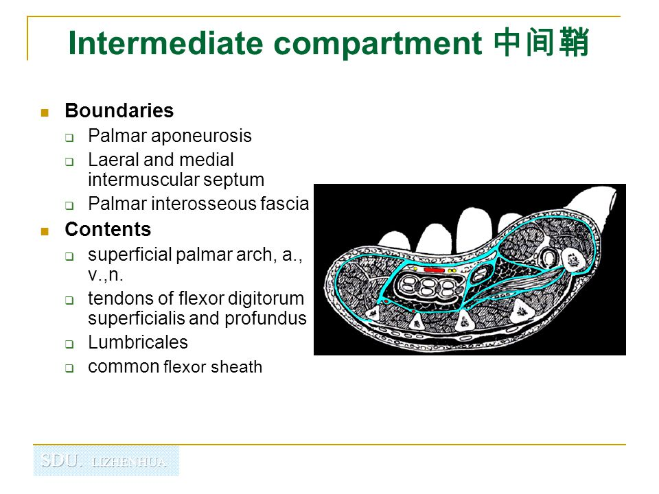Intermediate compartment 中间鞘