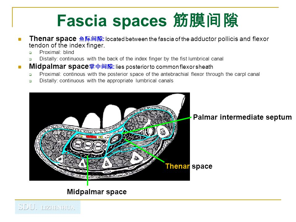 Fascia spaces 筋膜间隙 Thenar space 鱼际间隙: located between the fascia of the adductor pollicis and flexor tendon of the index finger.