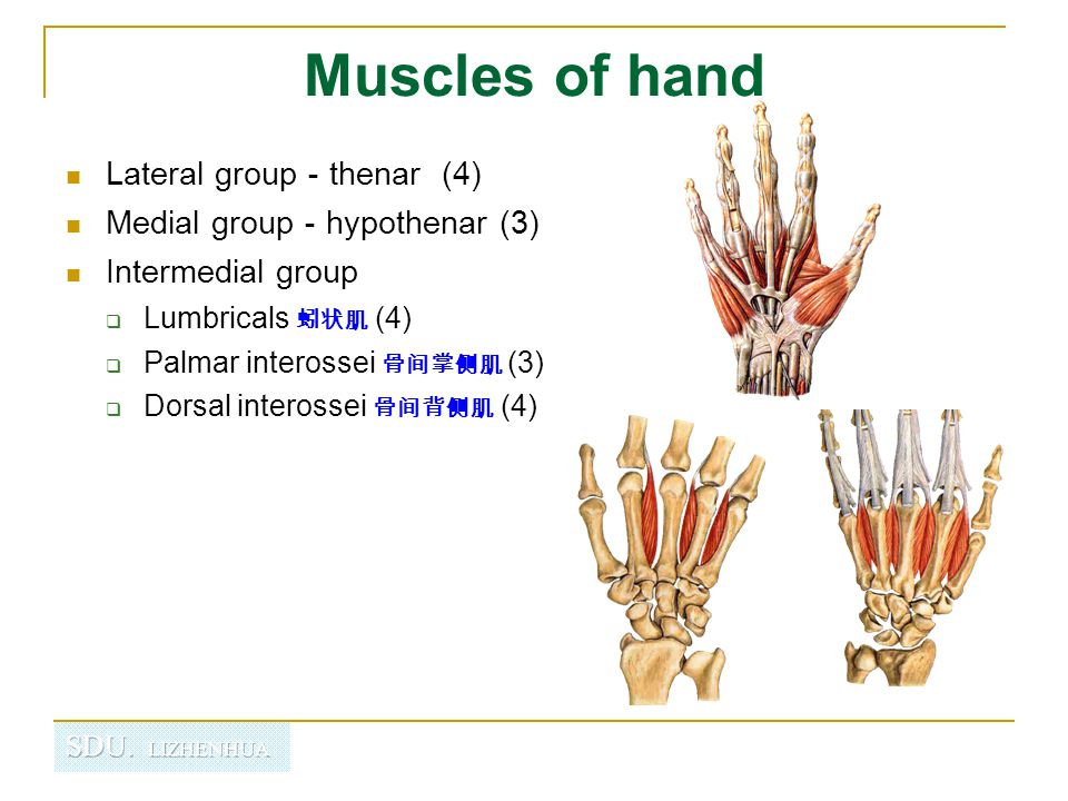 Muscles of hand Lateral group-thenar (4) Medial group-hypothenar (3)