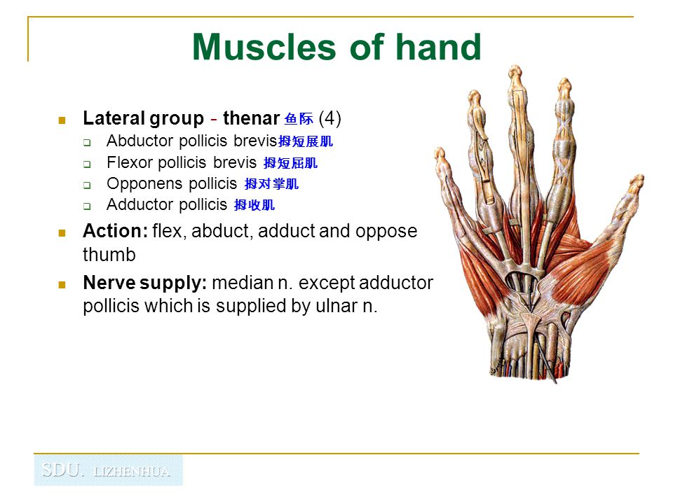 Muscles of hand Lateral group-thenar 鱼际 (4)