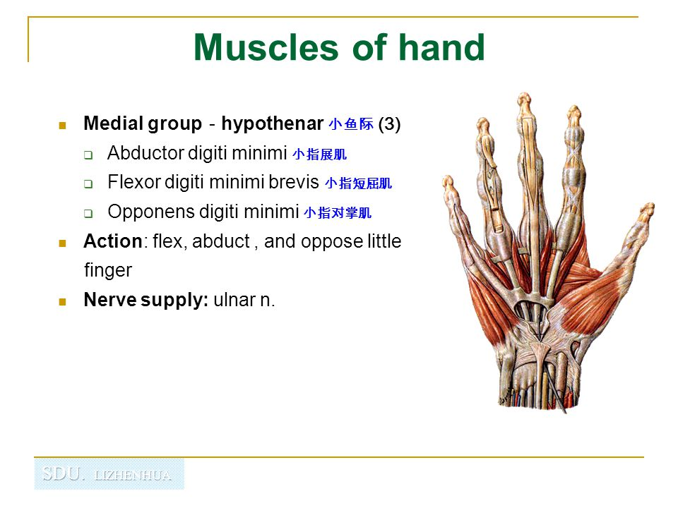 Muscles of hand Medial group-hypothenar 小鱼际 (3)