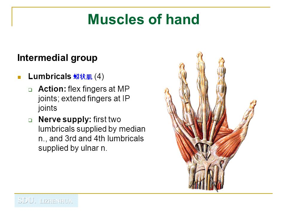 Muscles of hand Intermedial group Lumbricals 蚓状肌 (4)