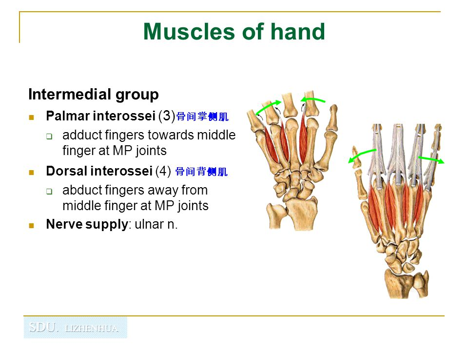 Muscles of hand Intermedial group Palmar interossei (3)骨间掌侧肌