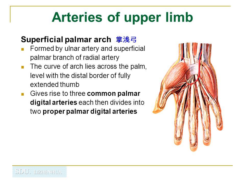 Arteries of upper limb Superficial palmar arch 掌浅弓