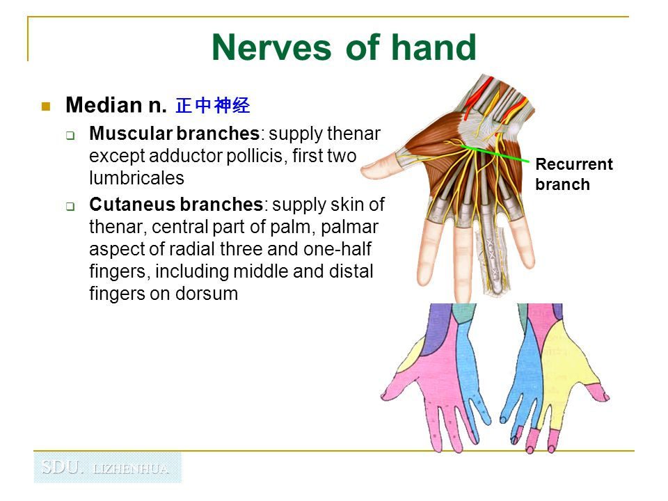 Nerves of hand Median n. 正中神经