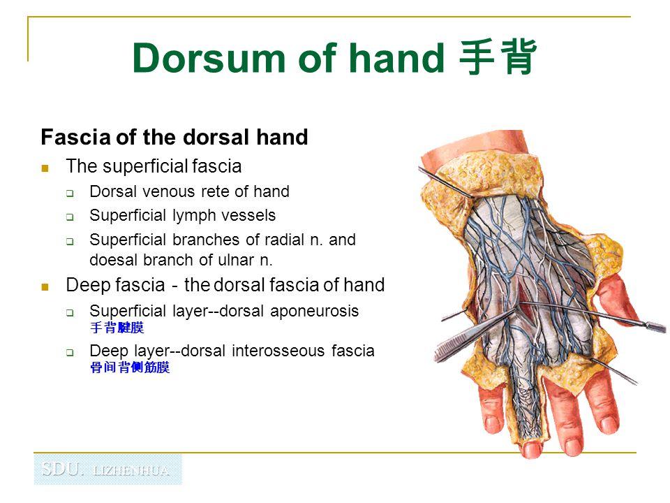 Dorsum of hand 手背 Fascia of the dorsal hand The superficial fascia