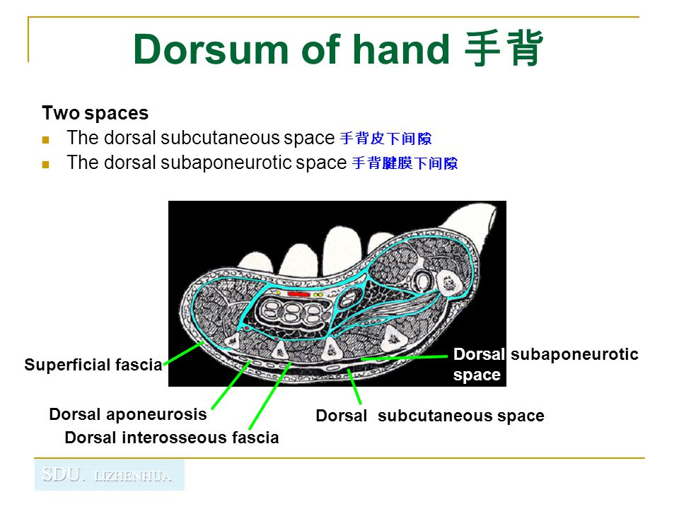 Dorsum of hand 手背 Two spaces The dorsal subcutaneous space 手背皮下间隙