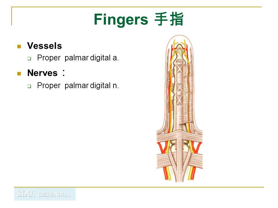 Fingers 手指 Vessels Nerves: Proper palmar digital a.