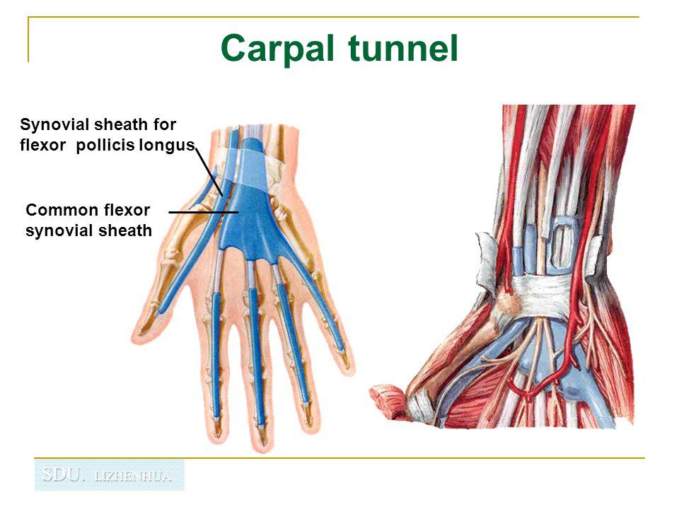 Carpal tunnel Synovial sheath for flexor pollicis longus