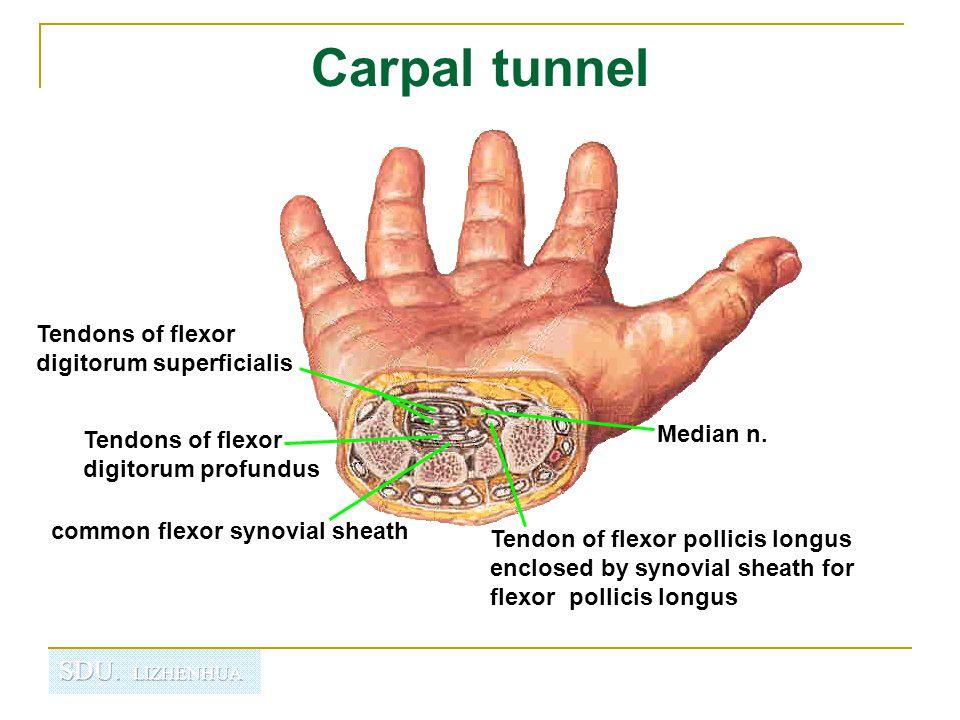 Carpal tunnel Tendons of flexor digitorum superficialis Median n.