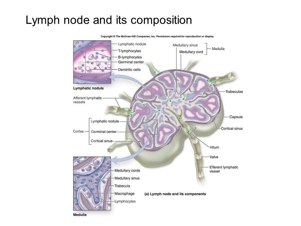 Lymph node and its composition