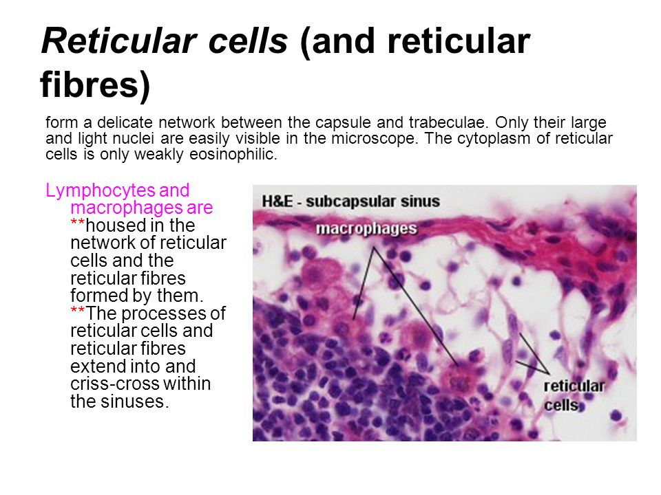 Reticular cells (and reticular fibres)
