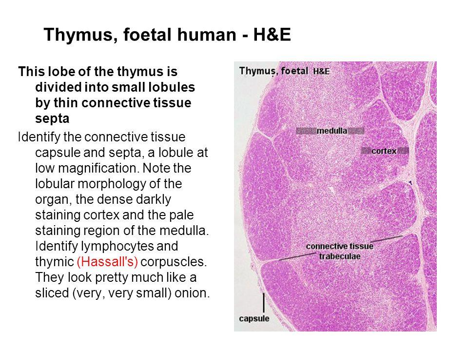 Thymus, foetal human - H&E