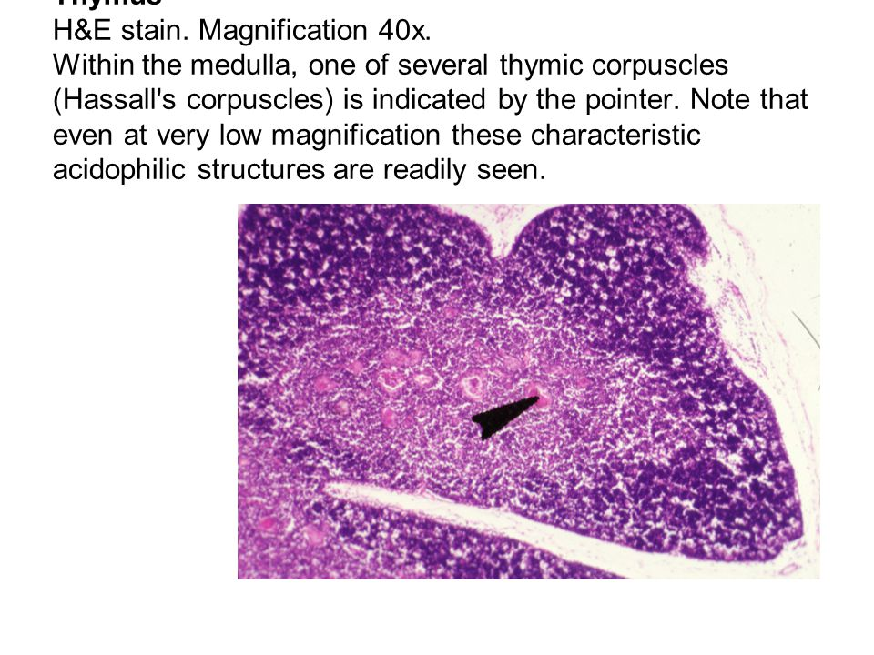 Thymus H&E stain. Magnification 40x