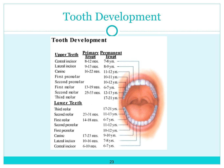 Tooth Development 23