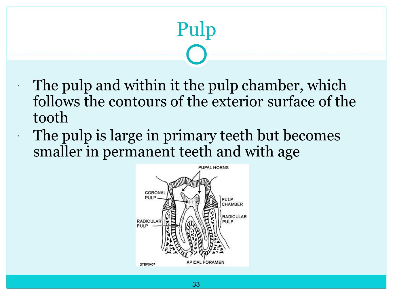 Pulp The pulp and within it the pulp chamber, which follows the contours of the exterior surface of the tooth.