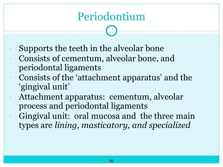 Periodontium Supports the teeth in the alveolar bone