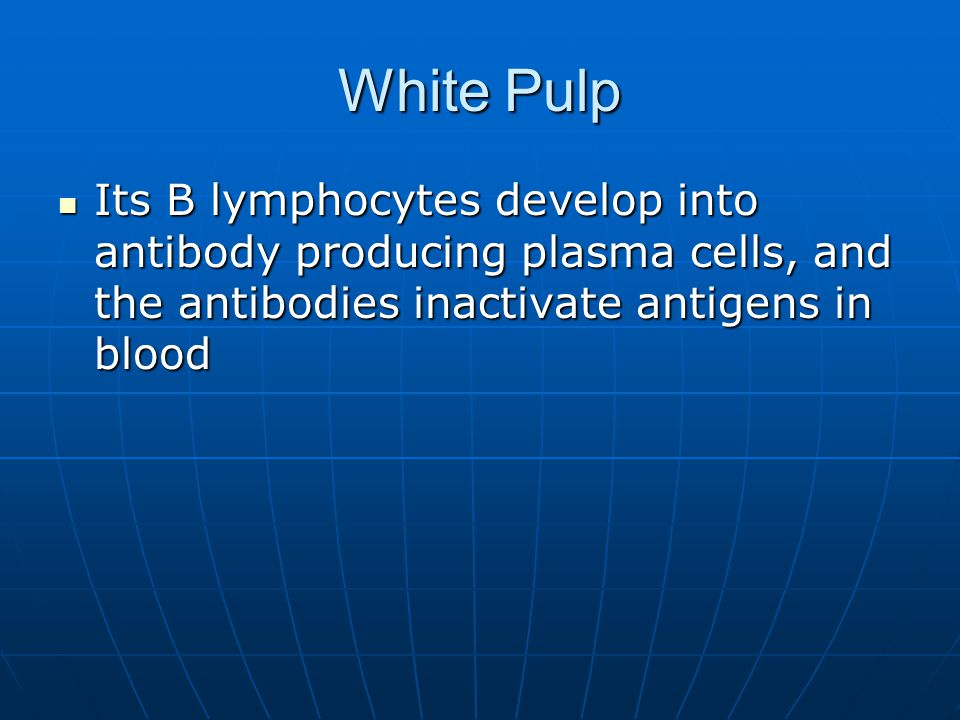 White Pulp Its B lymphocytes develop into antibody producing plasma cells, and the antibodies inactivate antigens in blood.