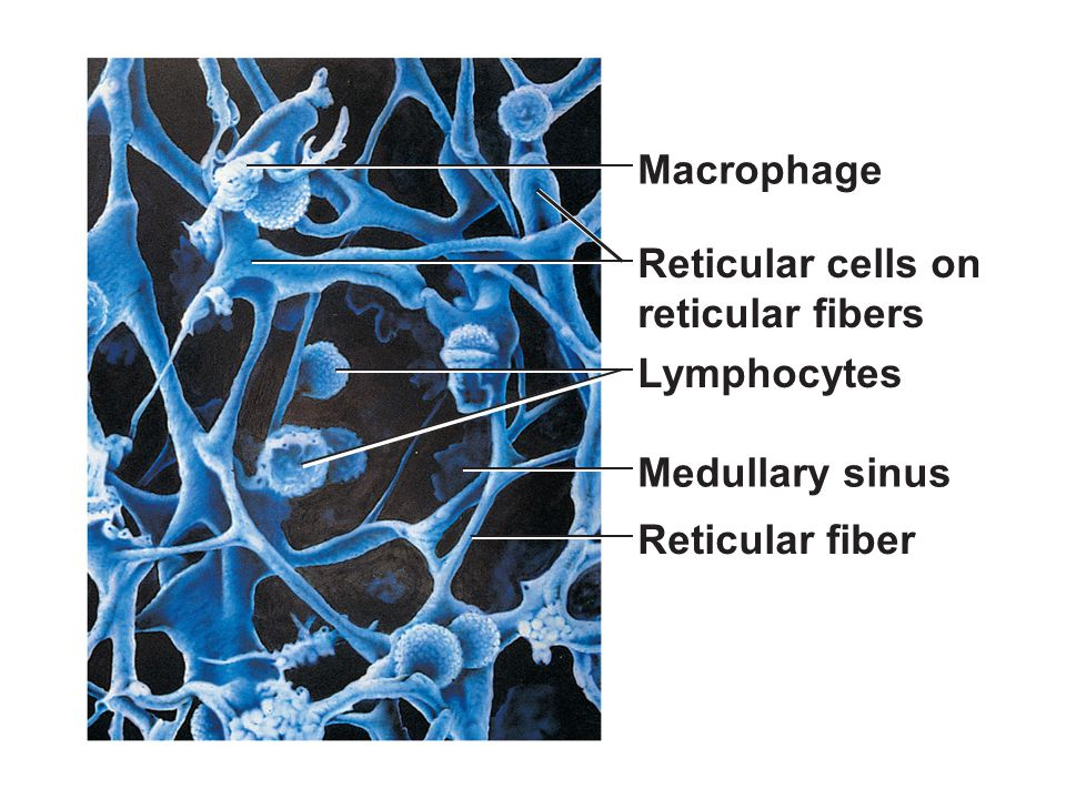 Macrophage Reticular cells on reticular fibers Lymphocytes
