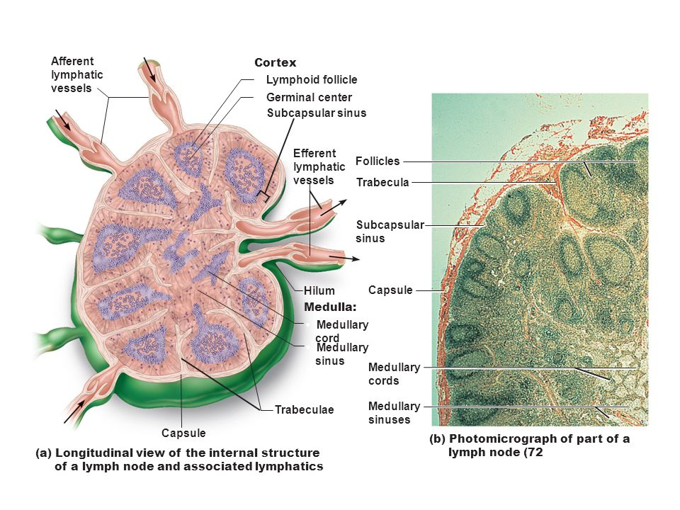 Afferent lymphatic. vessels. Cortex. • Lymphoid follicle. • Germinal center. • Subcapsular sinus.