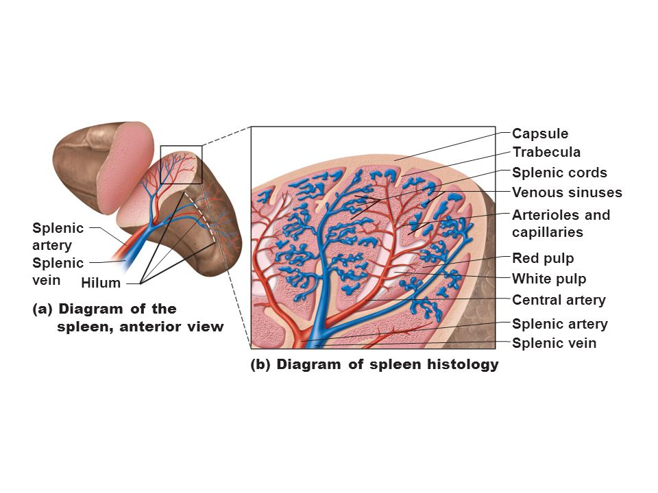 (b) Diagram of spleen histology