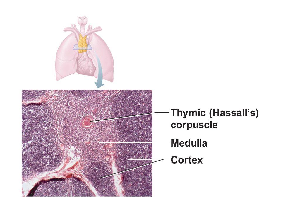 Thymic (Hassall's) corpuscle Medulla Cortex Figure 20.7