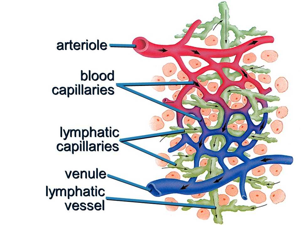 arteriole blood capillaries lymphatic capillaries venule lymphatic vessel