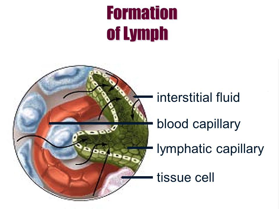 Formation of Lymph interstitial fluid blood capillary